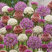 Allium Blend For Collectors Set of 25 Bulbs