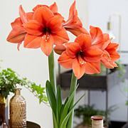 Amaryllis 2019 Color Of The Year Living Coral Set of 1 Bulb