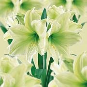 Amaryllis Lemon Lime Bulb