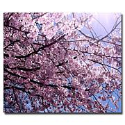 'Cherry Blossom Flare' Gallery-Wrapped Giclee Print