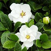 Leaf & Petal Designs 1-piece Buttons Gardenia