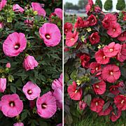 Leaf & Petal Designs 2-piece Hardy Giant Hibiscus