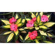 Leaf & Petal Designs 3-piece SunStanding Jazzy Coral Impatiens