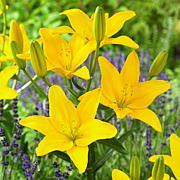 Lilies Easy Sun Set of 5 Bulbs