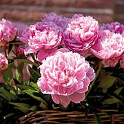 Peonies Sarah Bernhardt Set of 3 Roots