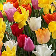 Tulips & Narcissus Pot Luck Mixture Set of 25 Bulbs