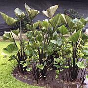 VanZyverden Elephant Ears Tea Cup 3-piece Bulb Set