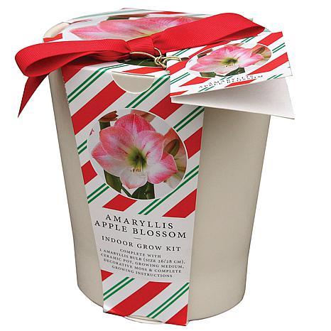 Amaryllis Kit Apple Blossom with French Vanilla Ceramic Planter
