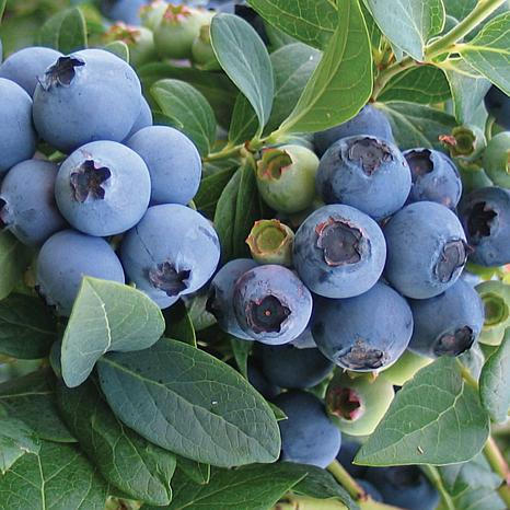 Bluecrop Blueberry - 1 Plant