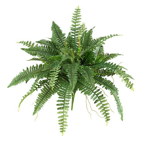 Boston Fern Set of 2