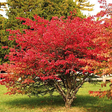 Burning Bush Red Root Stock