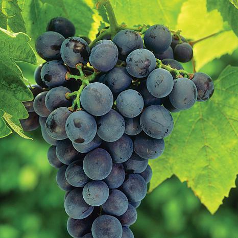 Concord Blue Grapes - 1 Plant