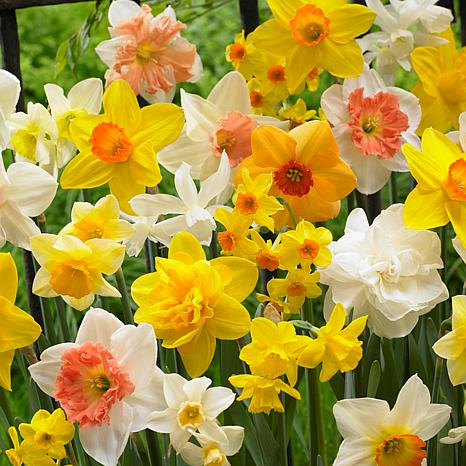 Daffodils Kitchen Sink Mixture Set of 25 Bulbs