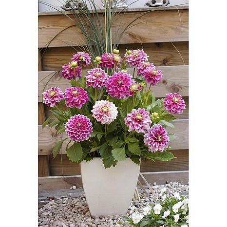 Dahlias Go Go 2-Tone Set of 3 Bulbs