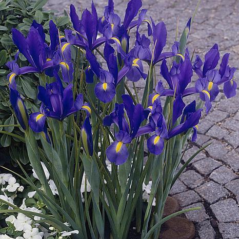 Dutch Iris Sapphire Beauty Set of 25 Bulbs