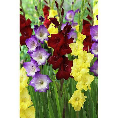 Gladiolus De Luxe Blend Set of 25 Bulbs