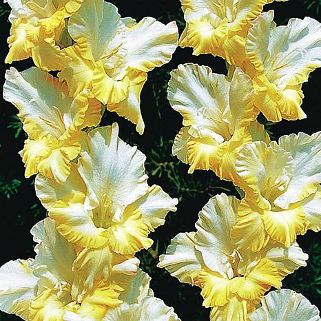 Gladiolus Large Flowering Sunny Side Up Set of 12 Bulbs