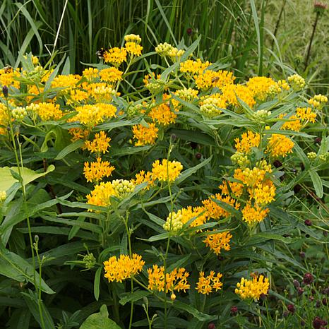 """Hello Yellow Asclepias """"Support The Monarchs"""" - Set of 3 Roots"""