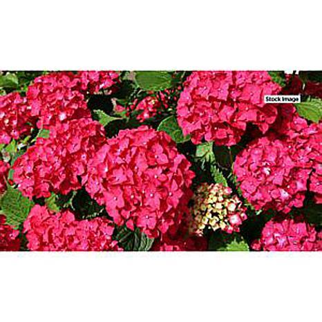 Leaf & Petal Designs 1-piece Red Sensation Hydrangea