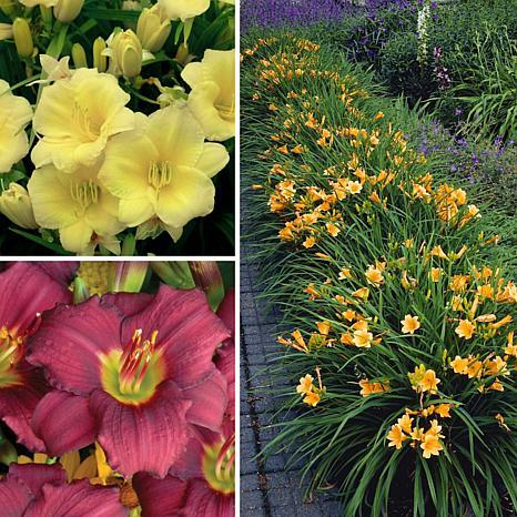Leaf & Petal Designs 6-piece Reblooming Compact Daylily