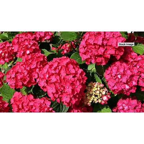 Leaf & Petal Designs Red Sensation Hydrangea