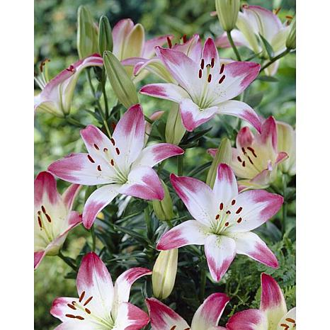 Lilies Asiatic Lollypop Set of 7 Bulbs