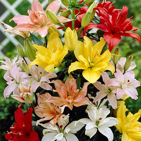Lilies Double Blooming Pollen Free Mixture Set of 7 Bulbs