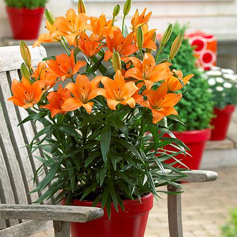 Lilies Orange For Patio And Containers Set of 7 Bulbs
