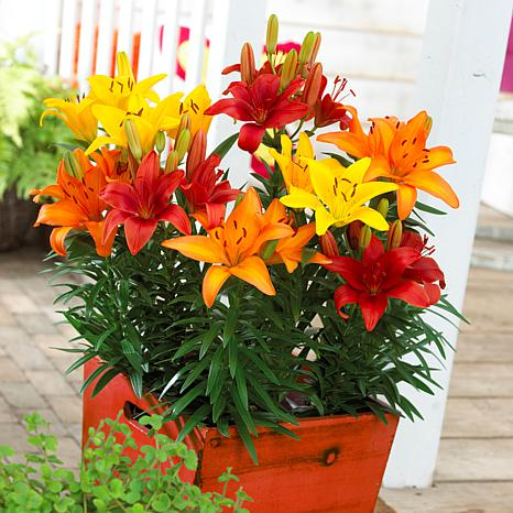 Lilies Sunset Patio Container Blend Set of 7 Bulbs