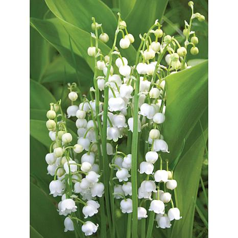 Lily Of The Valley Set of 10 Roots