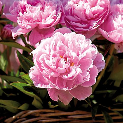 Peonies Sarah Bernhardt Set of 3 Roots