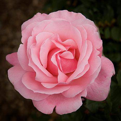 """""""Queen Elizabeth"""" Rose Root Stock"""