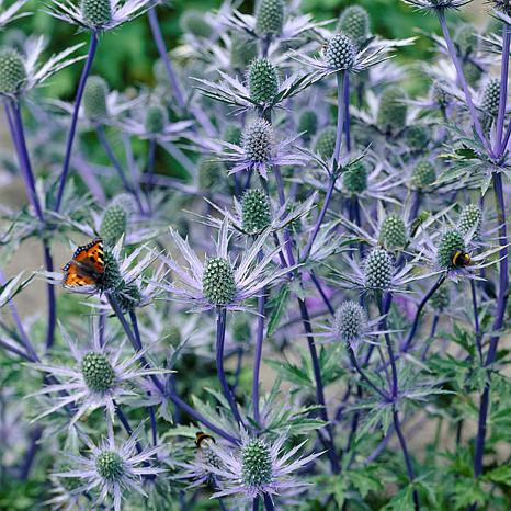 Sea Holly Water Wise Pollinator Set of 5 Roots