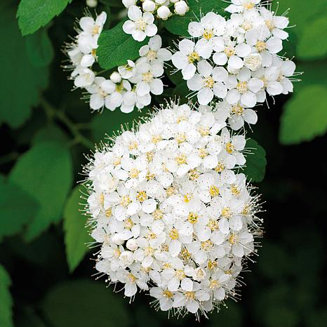 Spiraea Van Houttei Set of 1 Root Stock