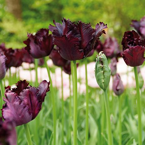 Tulips Black Parrot Set of 12 Bulbs