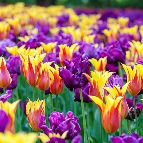 Tulips Carnival Blend Set of 15 Bulbs