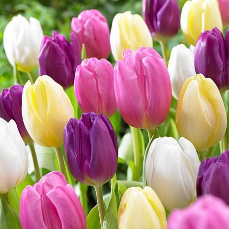 Tulips Easter Basket Mixture Set of 15 Bulbs