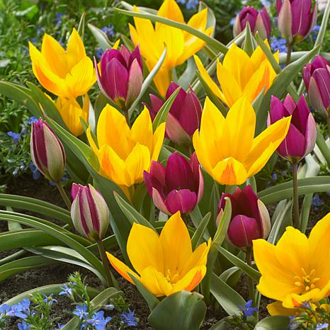 Tulips Specie Naturalizing Blend Set of 15 Bulbs