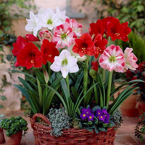 VanZyverden Amaryllis Indoor Mixed 5-piece Bulb Set
