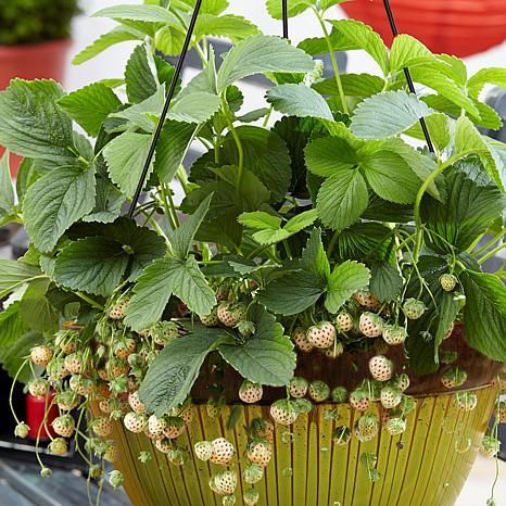 VanZyverden Cosmopolitan Pineberry Strawberry Basket 20-piece Root Set