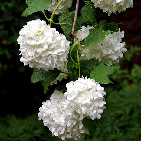 "Viburnum Sterile 4"" Potted Rocketliners® Set of 3 Plants"