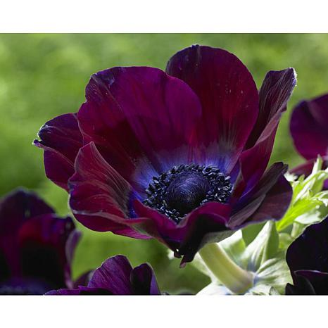 Wind Flowers Anemones Meron Bordeaux Set of 25 Bulbs