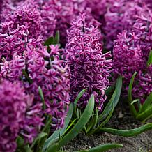 Hyacinths Purple Sensation Set of 10 Bulbs