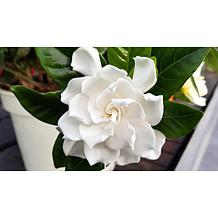 Leaf & Petal Designs 1-piece Forever Fragrant Gardenia Tree