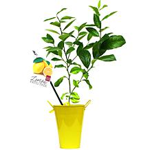 VanZyverden Lemon Citrus Tree with Decorative Patio Planter