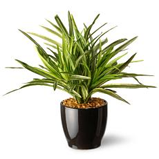 "10.5"" Artificial Dracaena Plant"