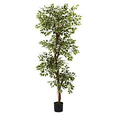 6' Variegated Ficus Silk Tree