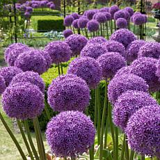 Allium Globemaster Set of 1 Bulbs