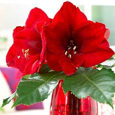Amaryllis Red Lion Set of 3 Bulbs