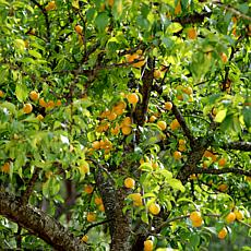 Apricot Tree Moorpark 1 Root Stock